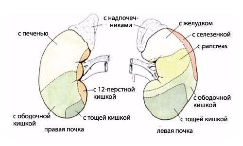Анатомия человека внутренние органы почки