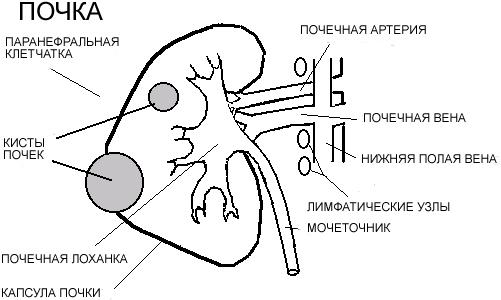 Схема строения здоровой почки